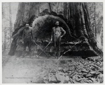 "Possibly a redwood tree used in building the ""Titanic"". Harvested by the Pardee and Curtin Lumber Co.The man on the left is John Harvey Reid."