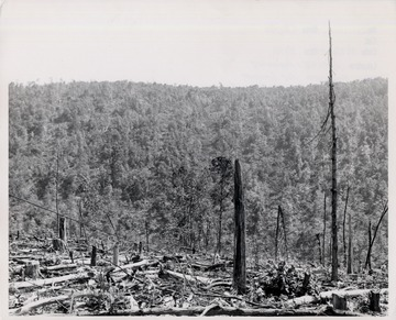 Picture of stumps and felled trees.