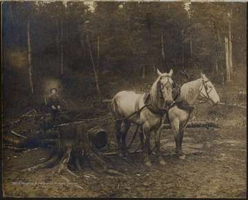 Teamster riding a log pulled by his team of horses, Pardee and Curtin Lumber Company.