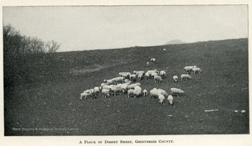 Flock of dorset sheep grazing on a hillside in Greenbrier County.