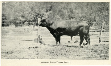 Aberdeen Angus standing next to a fence in Putnam County.