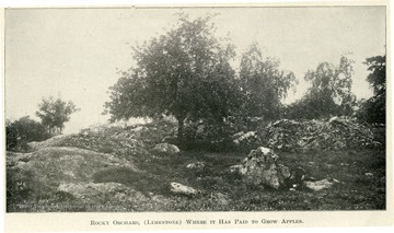 Apple trees in a rocky orchard.