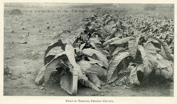 Rows of tobacco plants.