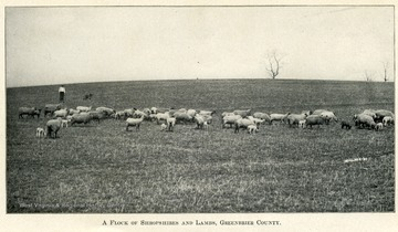 Flock of sheep and lambs in a field with a man tending to them.