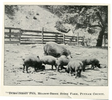 A group of pigs searching for food in the pigpen.