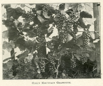 Clusters of grapes on the vine.