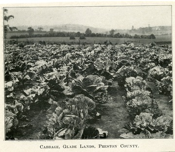 A field with rows of cabbage and rolling hills in the background.