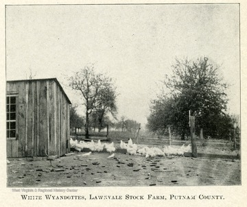 Wyandotte chickens standing by a building on the farm.