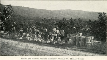 An assembly line that is sorting the peaches into various baskets.  One man stands at the very end on a ladder picking his own tree.