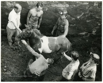 Miners help a pony out of the mine.