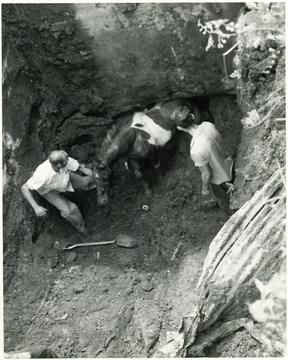 Men dig out a pony trapped in a mine shaft.
