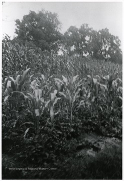 View of a corn field.