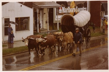 On a rainy day, four cattle are pulling a covered wagon in the Monongalia Bicentennial Parade in Morgantown, West Virginia.