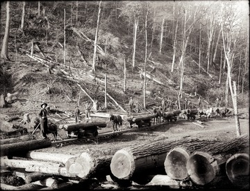 A view of logging site with all the horse drawn carts on the railroad tracks are loaded with felled trees.