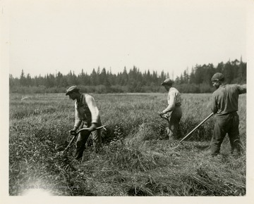 This image is part of the Thompson Family of Canaan Valley Collection. The Thompson family played a large role in the timber industry of Tucker County during the 1800s, and later prospered in the region as farmers, business owners, and prominent members of the Canaan Valley community.Three men harvesting hay in Davis, W. Va.